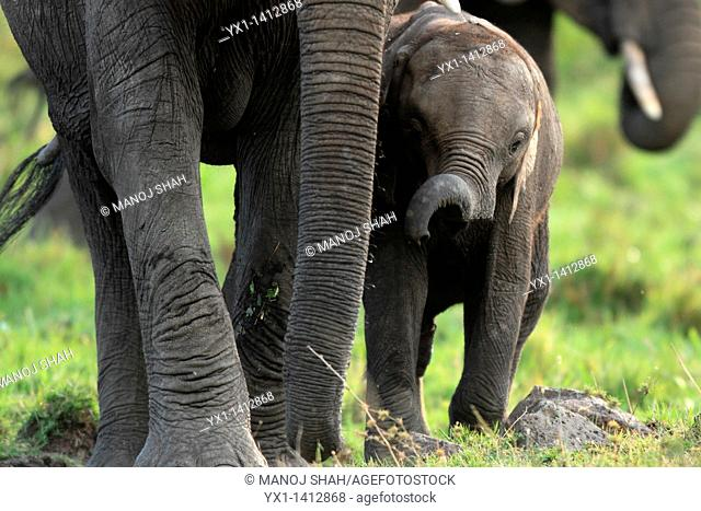 Thy trunk of the elephant is a very flexible elongated nose adapted to be used as a 'hand', with an excellent sense of smell  Hereit is used to hold a branch