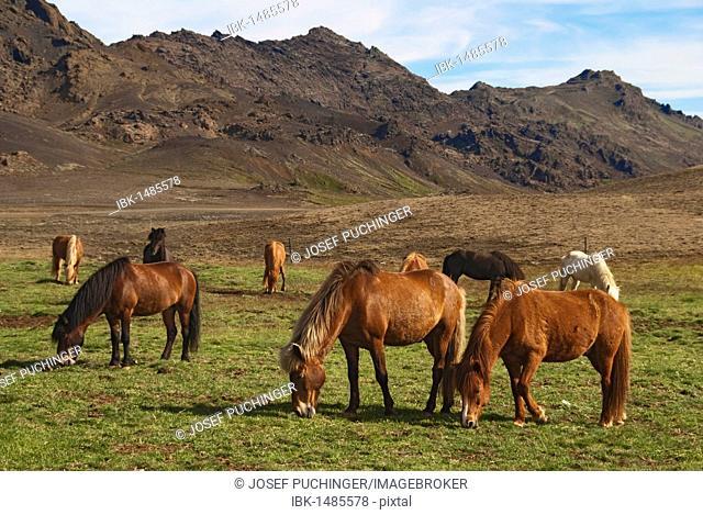 Icelandic horses, Reykanes, Iceland, Europe