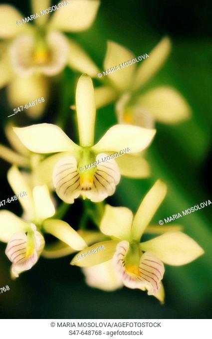Orchid Encyclia radiata in Bloom. September 2006, Maryland, USA