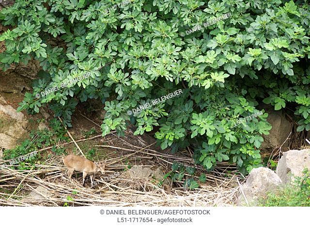 Mountain goat capra hyspanica feeding under a fig tree, Argelita, Ludiente, Castellón, Spain