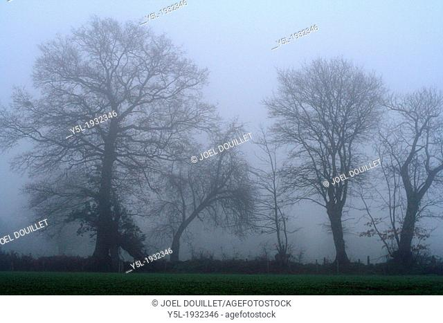 Trees in the hedge are bathed in fog, countryside of the northen Mayenne (Mayenne, Pays de la Loire, France)