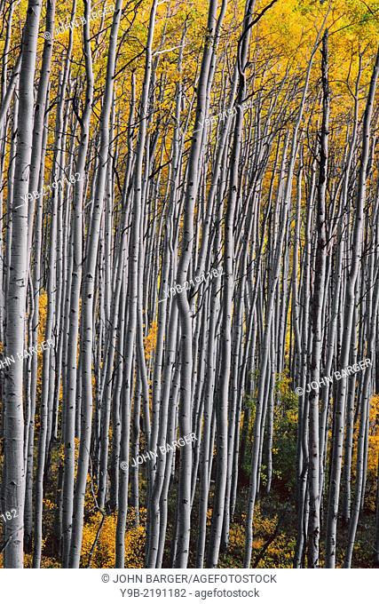 White trunks and yellow autumn leaves of quaking aspen (Populus tremuloides) in fall, White River National Forest, Colorado, USA