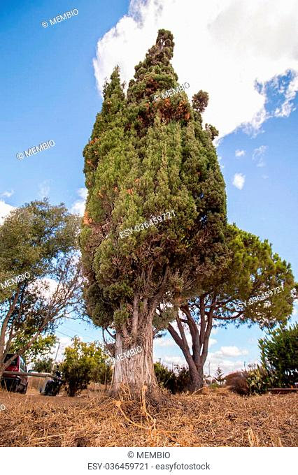Upward view of a tall Mediterranean Cypress tree