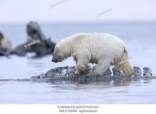 United States, Alaska, Arctic National Wildlife Refuge, Kaktovik, Polar Bear( Ursus maritimus ), baby along a barrier island outside Kaktovik, Alaska
