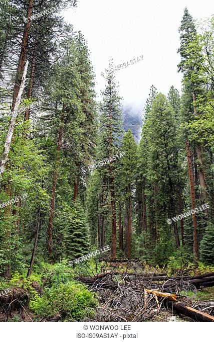 View of forest and fallen tree, Yosemite National Park, California, USA