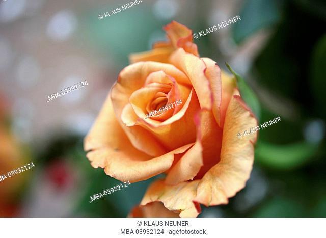 flowers, rose