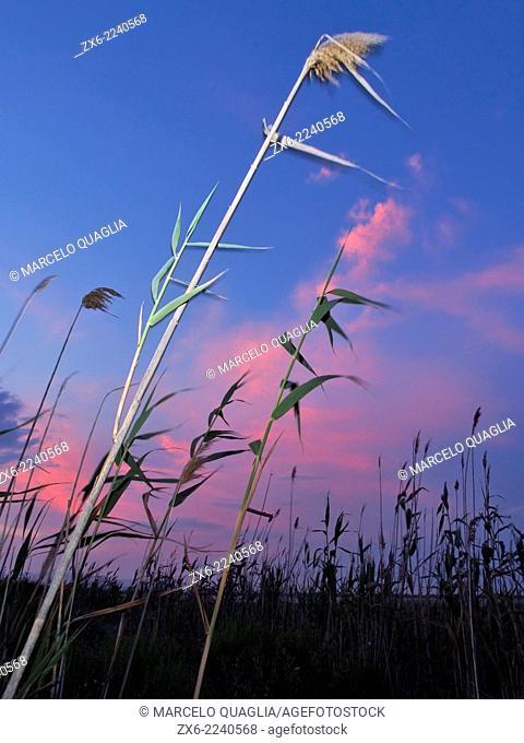 Reeds (Phragmites australis) at Encanyissada Lagoon. Ebro River Delta Natural Park, Tarragona province, Catalonia, Spain
