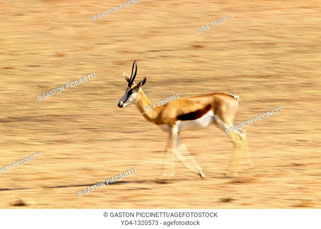 Springbok Antidorcas marsupialis, Mabuasehube, Kgalagadi Transfrontier Park, Kalahari desert, Botswana