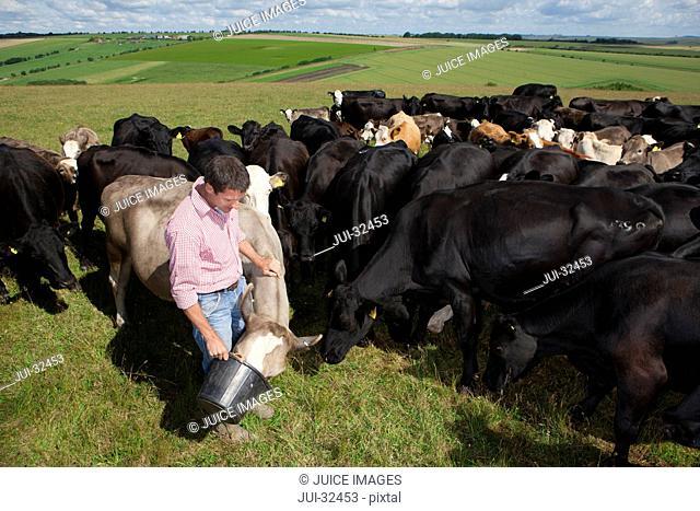 Farmer feeding cattle in rural field