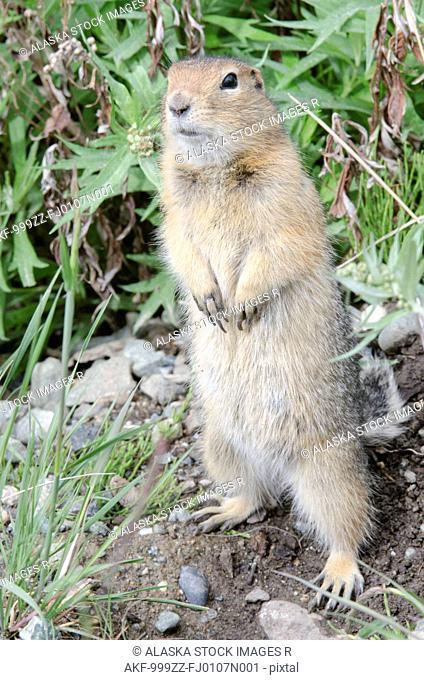 Arctic Ground Squirrel standing in Igloo Canyon, Denali National Park & Preserve, Interior Alaska, Summer