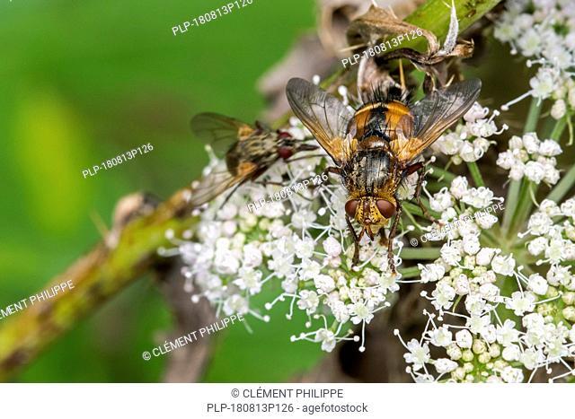 Parasite fly / tachinid fly / Tachina fera feeding on nectar from umbellifer flower in summer