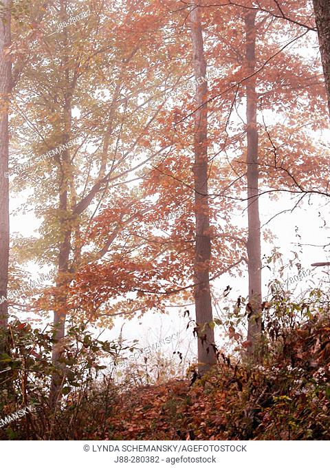 Autumn forest in morning fog. Appalachian foothills, Southeast Ohio. USA
