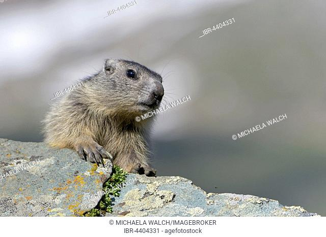 Young marmots (Marmota marmota) on a rock, High ropeern National Park, Carinthia, Austria
