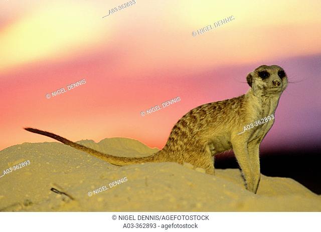 Meerkat or suricate (Suricata suricatta) at sunset. Kgalagadi Transfrontier Park, Kalahari. South Africa