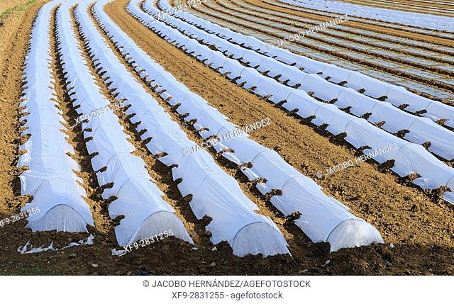 Cultivation protected by plastic.Vegas Bajas del Guadiana.Badajoz province.Extremadura .Spain
