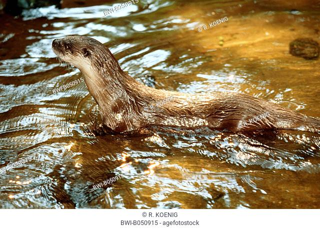 North American river otter, Canadian otter (Lutra canadensis), standing in the shallow water of a river