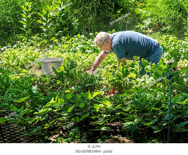 Man tending to vegetable garden
