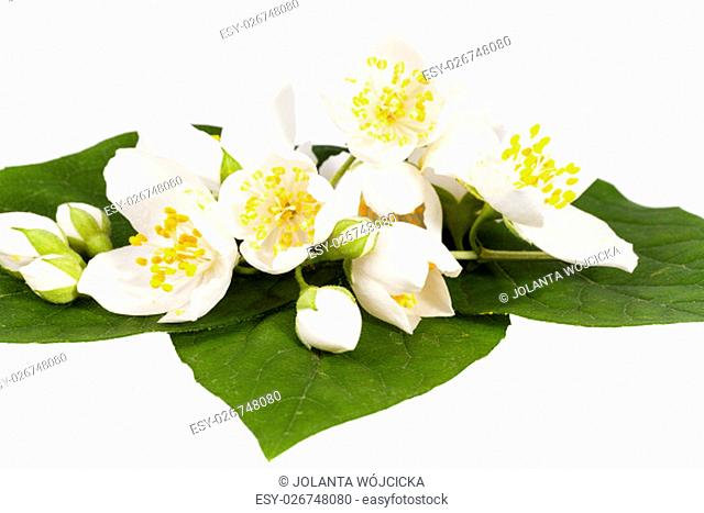 Jasmine flowers on isolated on white background, close up