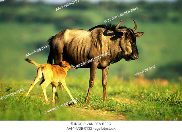 Blue Wildebeest and calf, Umfolozi Game Reserve, KwaZulu Natal, South Africa