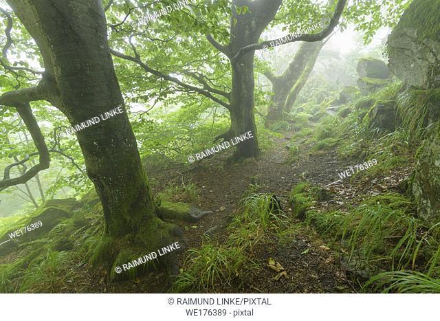 Mountain forest on a misty morning on mountain peak, Hofbieber, Milseburg mountain, Rhoen mountain range, Hesse, Germany