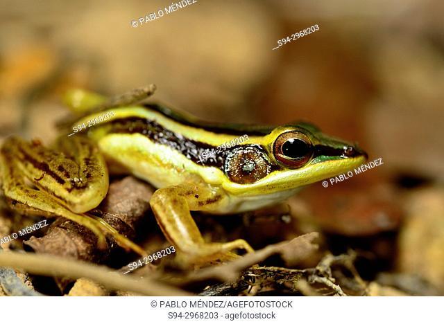 Green frog (Hylarana erythraea) in Angkor area, Siem Reap, Cambodia