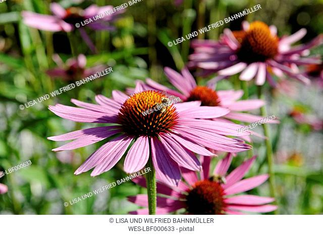 Germany, Close up of purple coneflowers