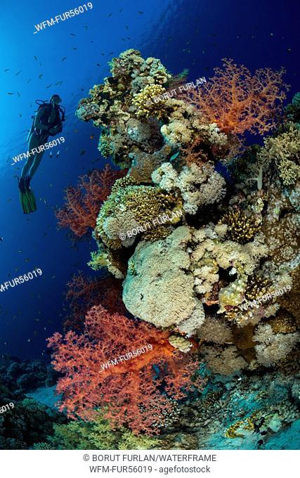Scuba diving in Red Sea, Ras Muhammad, Sinai, Egypt