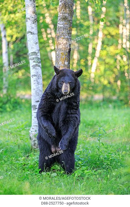 United States, Minnesota, Black bearUrsus americanus, adult