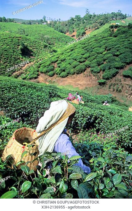 tea harvest in Cardamom Hills, Kerala, India, South Asia