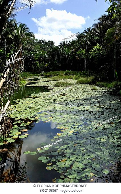 Pond with water lilies in the Amazon rain forest, Brazil, South America, Latin America
