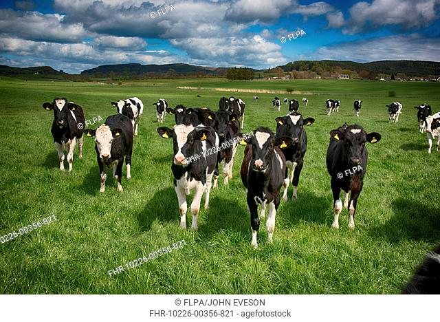 Domestic Cattle, Holstein Friesian dairy heifers, herd standing in pasture, Dumfries, Dumfries and Galloway, Scotland, May