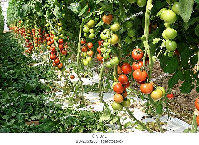 Tomatoes Lycopersicon esculentum : hydroponic growing