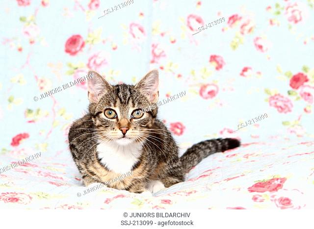 Domestic cat. Tabby kitten lying on a blue blanket with rose flowers print. Germany