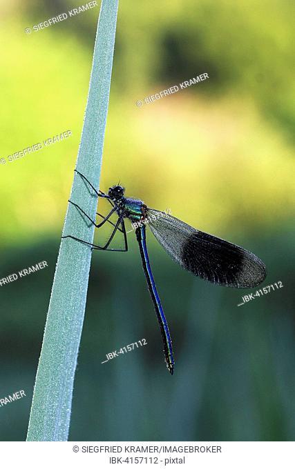 Banded demoiselle (Calopteryx splendens), male, morning dew, Baden-Württemberg, Germany