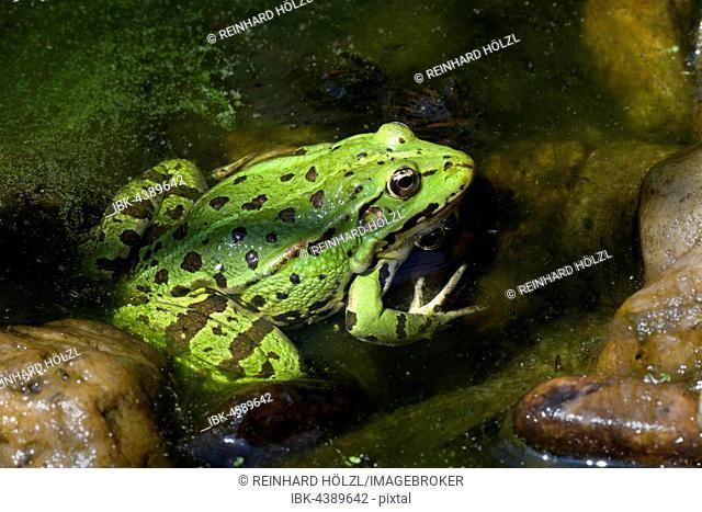 The edible frog (Rana esculenta), water, Burgenland, Austria