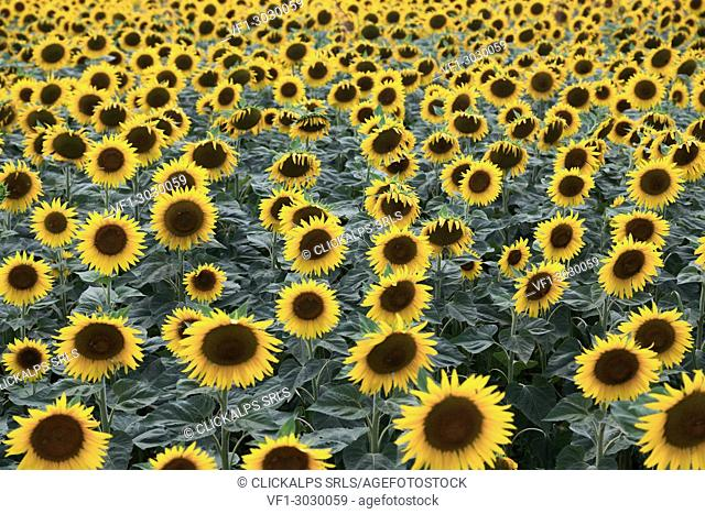 A field of sunflower in bloom,Piacenza,Emilia Romagna