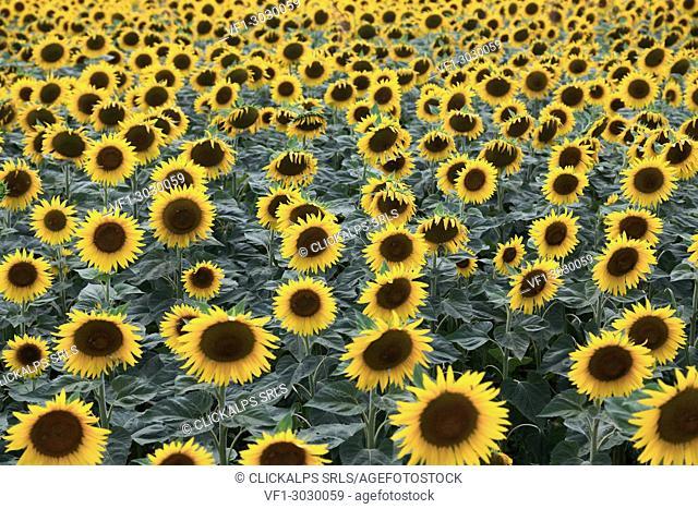 A field of sunflower in bloom,Piacenza,Emilia Romagna
