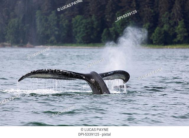 Humpback Whale (Megaptera novaeangliae) lifting its fluke as it submerges into the waters of Lynn Canal, Southeast Alaska; Alaska, United States of America
