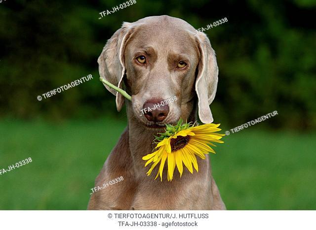 Weimaraner with sunflower