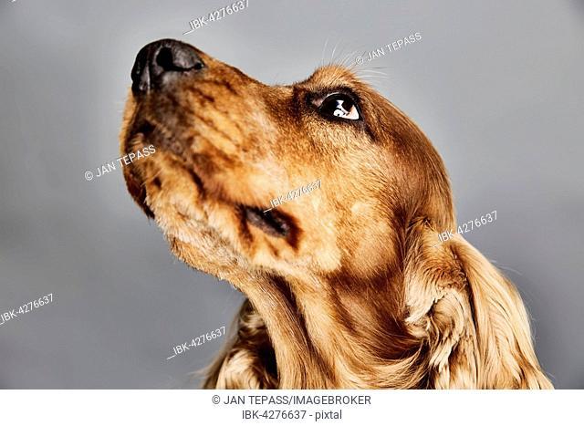 Dog, English Cocker Spaniel, portrait, Germany
