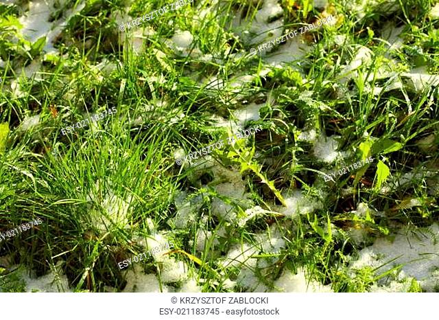 Texture of green grass with snow. Spring