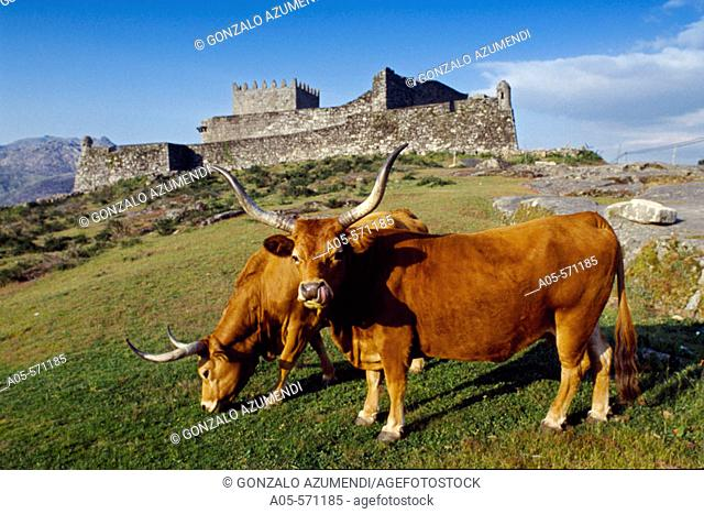 Lindoso castle (13th century) and 'Cachena' cows. Cabril valley. Peneda-Gerês National Park. Minho. Tras-os-Monte, Portugal
