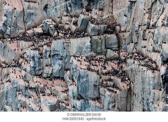 Spitsbergen, Svalbard, thick-billed murre, uria lomvia, bird's rock, birds