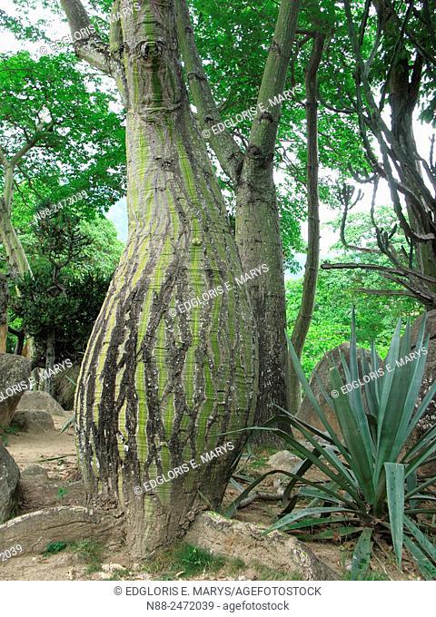Pseudobombax septenatum tree, Parque del Este, Caracas, Venezuela