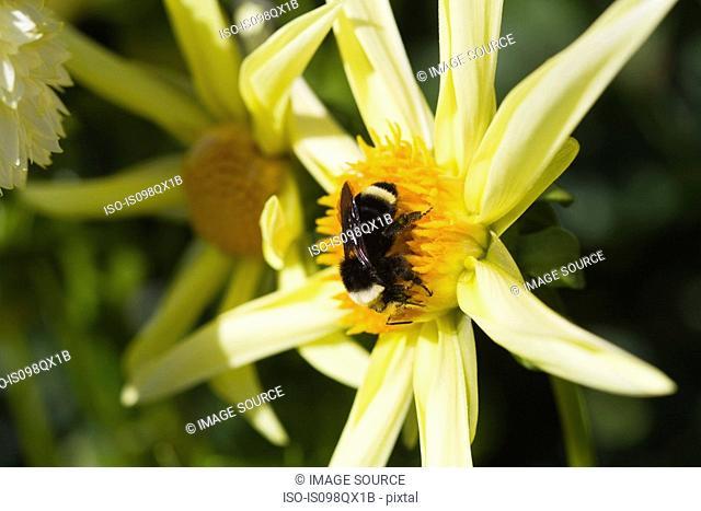 Bee on a dahlia flower