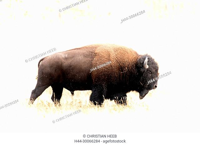 North America, American, USA, Rocky Mountains, West, Yellowstone National Park, UNESCO, World Heritage, Bison bull