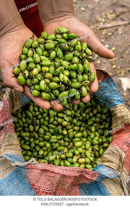 Cardamom harvesting, La Taña, Reyna area, Uspantan department, Guatemala