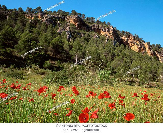 Poppy (Papaver rhoeas). Sierra de Segura mountains. Albacete province, Spain
