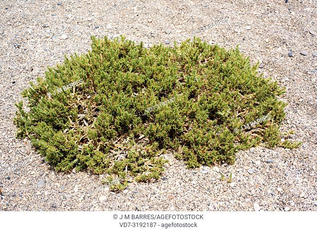 Rubia de mar (Crucianella maritima) is a psammophilous perennial herb native to western Europe and north Africa coasts. This photo was taken in Cabo de Gata...