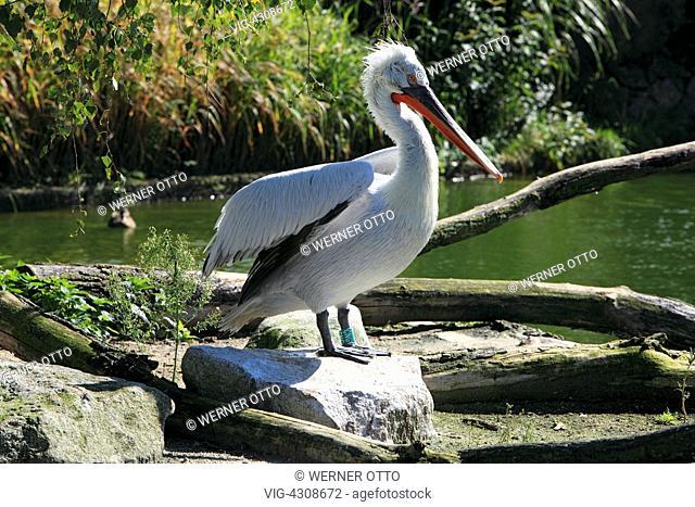 DEUTSCHLAND, MUENSTER (WESTFALEN), 17.09.2010, Dalmatian Pelican, Pelecanus crispus, zoological gardens, all-weather zoo in Muenster, D-Muenster, Westphalia